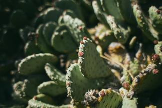 photo of beavertail cactus